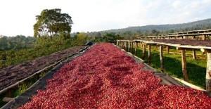 coffee-drying process natureloc