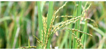 Njavara Rice Varieties – The Black Glumed and Yellow Glumed
