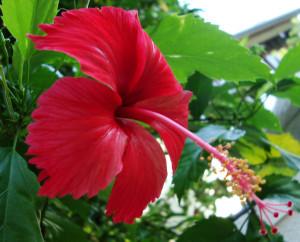 shoeflower chambarathi