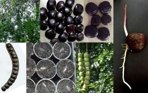 Entada-Rheedi-African-Dream-Bean-Matchbox-Snuff-Box-Plant seeds nautreloc