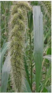 Fox tail millet natureloc