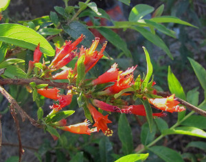 Thathiripoovu താതിരിപ്പൂവ് Woodfordia Fruticosa Fire-flame Bush natureloc