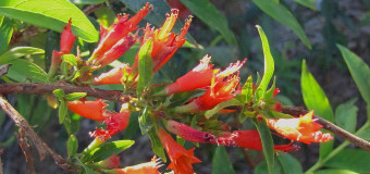 Thathiripoovu (Woodfordia Fruticosa) – Fire-flame Bush
