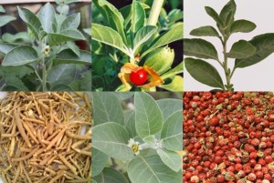 ashwagandha amukkuram indian winter cherry buy online