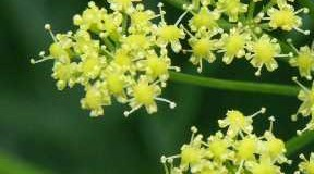 Kayam – asafoetida – hing – A common culinary herb for flavouring