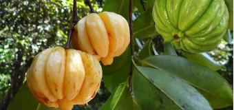Kudampuli – Garcinia cambogia – Malabar Tamarind