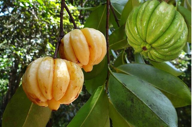 Kudampuli or Kodampuli Garcinia cambogia - Malabar Tamarind