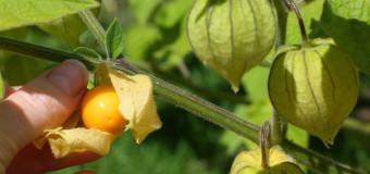 Cape Gooseberry (Physalis peruviana) Notanodiyan pazham