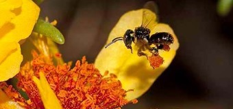 Stingless Bee Honey – Dwarf Honey Bees
