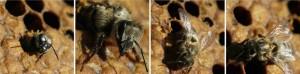 Stingless Bee Honey - Dwarf Honey Bees