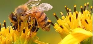Cheruthen or Small honey - An effective fat burner