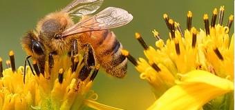 Cheruthen or Small honey – An effective fat burner