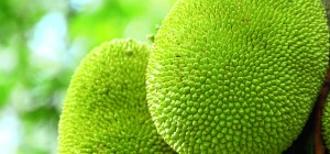 Jackfruits Nutritional composition and uses