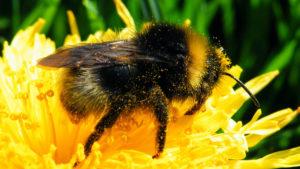 Bumblebees bumble bees - Buzz Pollination