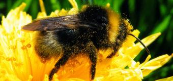 Bumblebees bumble bees – Buzz Pollination