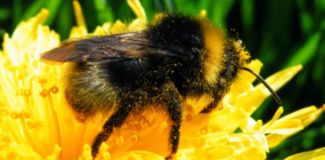 Bumblebees or bumble bees
