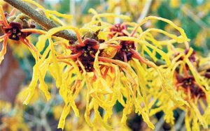 Witch hazel -can be useful for minor skin irritations