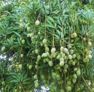 Chandrakaran Mango - Most expensive mango variety in Kerala