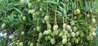 Chandrakaran Mango – Most expensive mango variety in Kerala