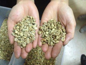 Arabica Coffee Beans- Rabusta coffee beans