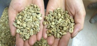 Arabica Coffee Beans- Valued coffee bean species