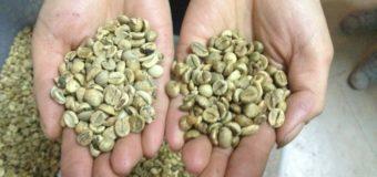 Arabica Coffee Beans- Valued coffee bean species