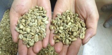 Arabica-Coffee-beans and robusta coffee beans natureloc