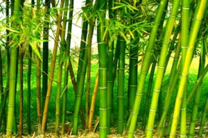 Bamboo rice farming