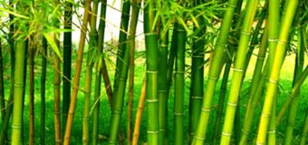 Bamboo rice farming – harvesting – bamboo – cultivation