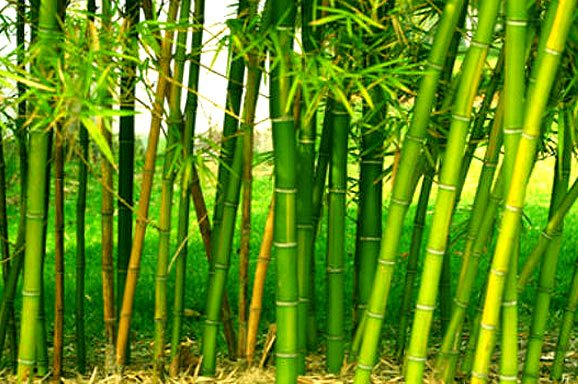 Bamboo Rice Farming Harvesting Bamboo Cultivation