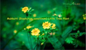 Mukkutti (Biophytum sensitivum) Little Tree Plant