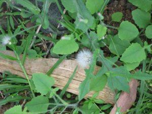 Muyalchevi-Emilia sonchifolia