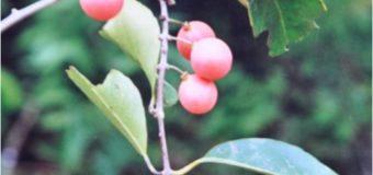 Ekanayakam-Salacia reticulata Traditional treatment for Diabeties