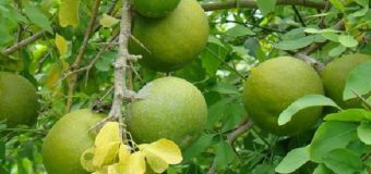 Koovalam (Kuvalam)Sacred as well as an Ayurvedic Medicine for Digestive Disorders