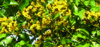 Venga(Malabar Kino/ Indian Kino ) or Pterocarpus marsupium-An Excellent Anti-Diabetic from Ayurveda