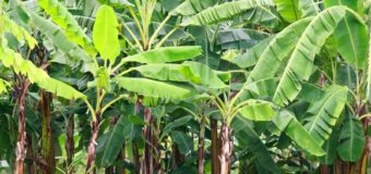 Common Banana Types Available in Kerala