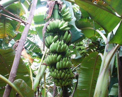 palaymon-kodan-banana