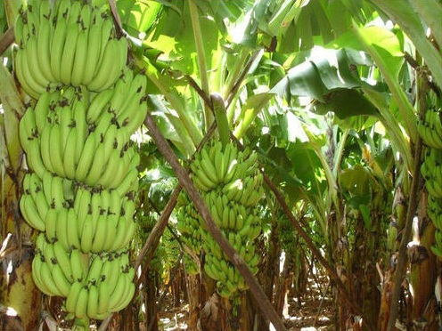 banana cultivation in kerala pdf