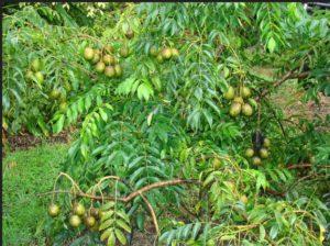 ambazhanga-hog-plum-fruit-pickle-buy-online-natureloc