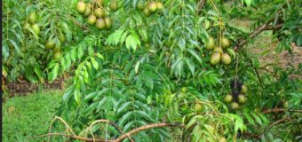 Ambazhanga (Hog Plum) – A popular sour fruit