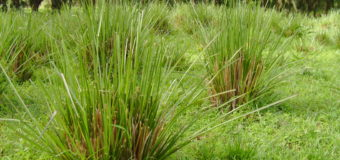 Vetiver (Cuscus Grass) – Ramacham Khuskhus grass with fragrant roots