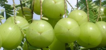 Indian Gooseberry (Nellikka-Amla) – Improves hair growth prevents greying of hair