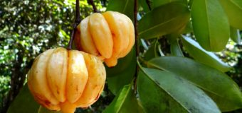Kudampuli-Pure Garcinia Cambogia dried fruits fastest and easiest way to burn fat