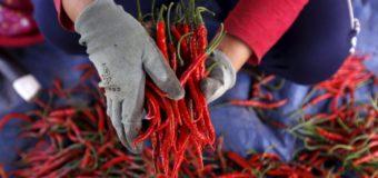 Chili Pepper – Solanaceae; The Nightshade Family
