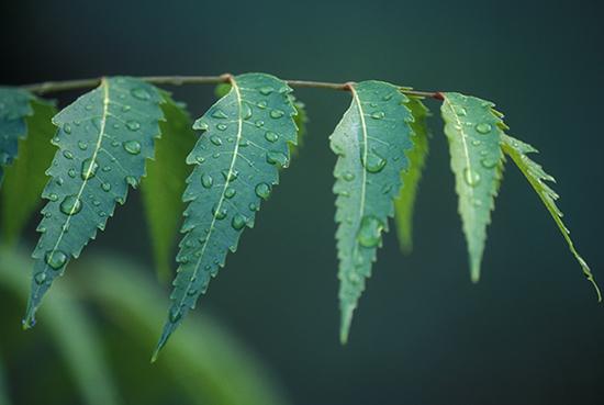 Benefits Neem Leaf