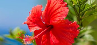 Why Use Hibiscus Leaves Powder (Thali Podi) For Your Hair – Healthy Hair