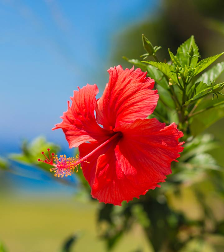 Why Use Hibiscus Leaves Powder Thali Podi For Your Hair
