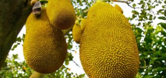 7 Reasons To Start Eating Jackfruit (Chakka) From Today