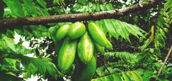Bilimbi (Averhhoa Bilimbi) – Facts, Health Benefits, Uses And Side Effects
