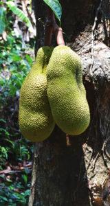 Jackfruit (Chakka)